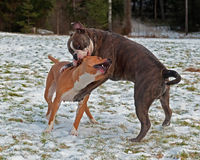 Pitbull play fighting with Olde English Bulldog. Red Pitbull play fighting with blue brindle Olde English Bulldog in the snow royalty free stock photos