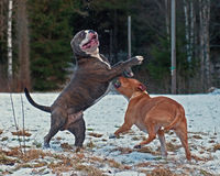 Pitbull play fighting with Olde English Bulldog. Red Pitbull play fighting with blue brindle Olde English Bulldog in the snow royalty free stock images