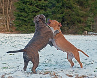 Pitbull play fighting with Olde English Bulldog. Red Pitbull play fighting with blue brindle Olde English Bulldog in the snow royalty free stock image