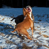 Pitbull play fighting with Olde English Bulldog. Red Pitbull play fighting with blue brindle Olde English Bulldog in the snow royalty free stock photo
