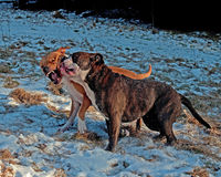 Pitbull play fighting with Olde English Bulldog. Red Pitbull play fighting with blue brindle Olde English Bulldog in the snow stock images