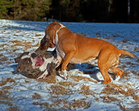 Pitbull play fighting with Olde English Bulldog. Red Pitbull play fighting with blue brindle Olde English Bulldog in the snow stock photo