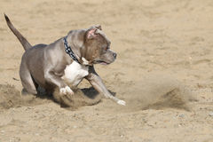 Pitbull playing in the sand Royalty Free Stock Image