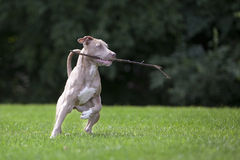 Pitbull Playing With a Stick Royalty Free Stock Photography