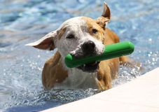 Pitbull in the pool with a green toy Royalty Free Stock Images
