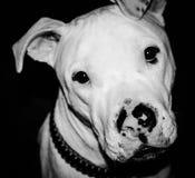 Pitbull Portrait Lizenzfreie Stockbilder