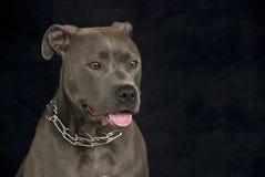 Pitbull-Portrait Lizenzfreie Stockfotos
