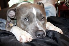 Pitbull portrait Royalty Free Stock Photo