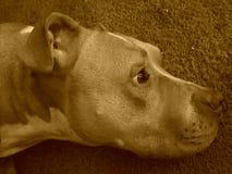 Pitbull profile Stock Photography