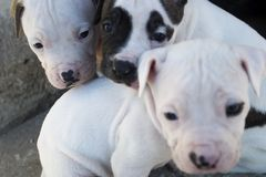 Pitbull puppies. Three cute puppies. Focus on the left one. Shallow depth of field royalty free stock image