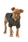 Pitbull puppy Stock Images