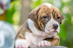 Pitbull puppy dog. Close up cute pitbull puppy dog Stock Photo