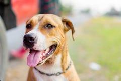Pitbull puppy dog Stock Photography