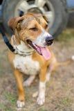 Pitbull puppy dog Stock Image