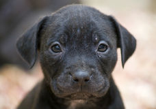 Pitbull Puppy Face. Full-frame shot of a pitbull pup face stock images