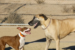 Pitbull puppy and a Great Dane. A pitbull puppy playing with her buddy a Great Dane at the park Stock Image