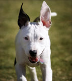 Pitbull Puppy Portrait. A pitbull puppy portrait in full run with ears up royalty free stock photos
