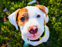 Pitbull Puppy. Posing for the camera stock photo