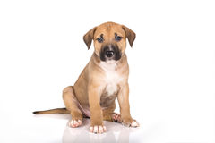 Pitbull puppy Royalty Free Stock Image