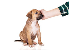 Pitbull puppy sitting Royalty Free Stock Photography