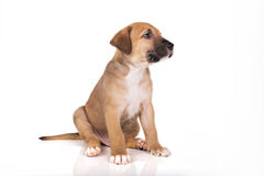 Pitbull puppy sitting Stock Images