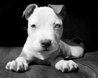 Pitbull puppy white and brown Stock Images