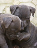 Pitbull Pups - Yup, your nose is cold and wet. Two Pitbull pups, one with its paw on the other's nose as if checking its temperature Royalty Free Stock Images