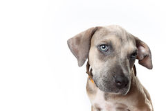 Pitbull pupy стоковое фото rf