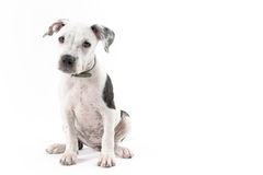 Pitbull pupy Stockbild