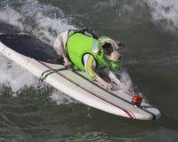Pitbull que practica surf Foto de archivo libre de regalías