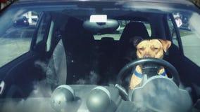 Pitbull que se sienta en el Driver's Seat de un coche metrajes