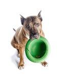 Pitbull rayé rouge avec un chapeau dans des ses dents Isolat avec l'ombre sur le fond blanc Images libres de droits