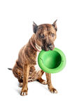Pitbull rayé rouge avec un chapeau dans des ses dents Isolat avec l'ombre sur le fond blanc Image stock