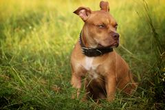 Pitbull Rode neus stock fotografie