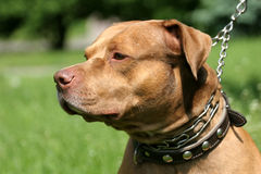 Pitbull rotes Wekzeugspritzenportrait Stockfotografie