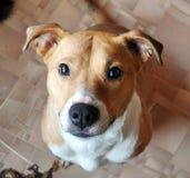 Pitbull rouge de chien semblant insinuant photo stock