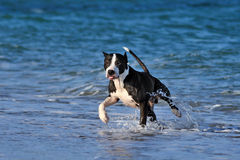 Pitbull runs along the sea beach. Stock Images
