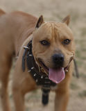Pitbull smiling. A red nose pitbull smiling for the camera wearing a heavy harness stock photos