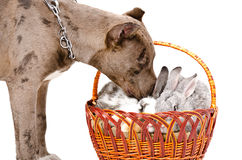Pitbull sniffing rabbits Royalty Free Stock Images