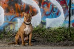 Pitbull staring in front of grafitti bridge royalty free stock photos