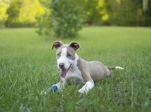 Pitbull sveglio che si siede nell'erba con la sua palla Immagini Stock