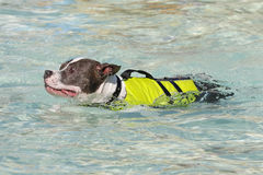 Pitbull swimming in vest Stock Photography