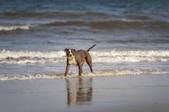 Pitbull Terrier foto de archivo