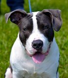 The Pitbull Terrier Royalty Free Stock Photography