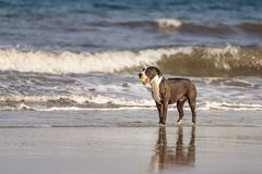 Pitbull terrier americano Fotografia Stock Libera da Diritti