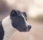 Pitbull terrier americano Fotografie Stock