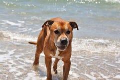 Pitbull terrier americano rosso cattivo immagini stock libere da diritti