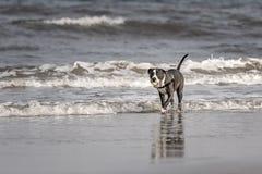 Pitbull terrier di Merican Fotografia Stock Libera da Diritti