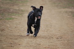 Pitbull terrier dog Royalty Free Stock Photography
