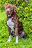 Pitbull Terrier met bebouwde niet oren Stock Foto's